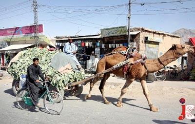 October 01: A man carrying vegetable on his camel cart to earn some living for his family in the provincial capital.