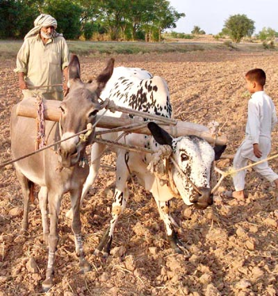 July, 15: This is something you might never seen before, A farmer in attock ploughs his land with the help of a donkey and a cattle