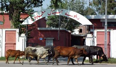 September 26: Buffaloes walk past the entrance of Railway Hospital Mughalpura despite a clear ban on entry of animals in the city